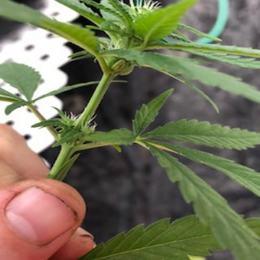 Feminized Seeds - Feminized Cannabis Seeds | Blacklands